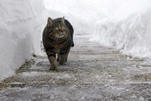 safe ice melt for pets - cat in snow